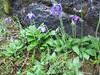 Meconopsis delavayi (Gang Ho Ba 2880m.Yunnan)