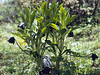 Mandragora caulescens (Tianchi lake 3850m. Zhongdian, Yunnan)