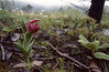 Cypripedium tibeticum (Zhongdian, 3300m. Yunnan)