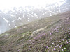 Rhododendron rupicola ( lower parts of Bai Ma Shan 4000m. Dechen)