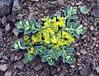 Euphorbia cf. stracheyi (Bai Ma Shan 4600m. Dechen,Yunnan)