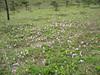 Roscoea humeana (Yulong Xue Shan pas 2860m Yunnan)