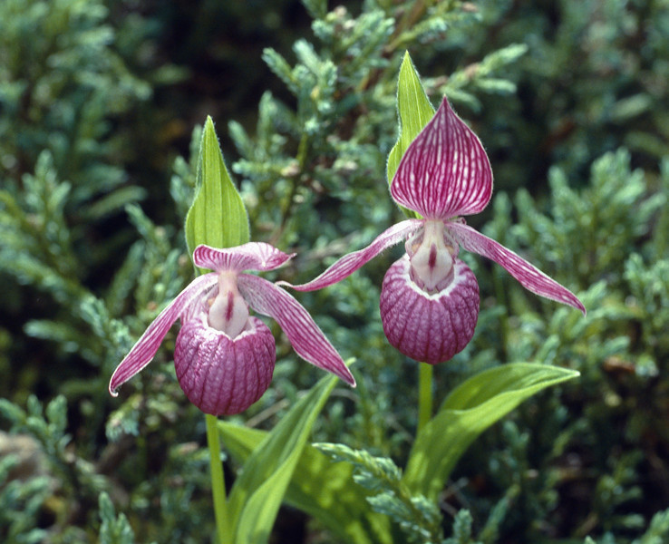 Cypripedium yunnanense