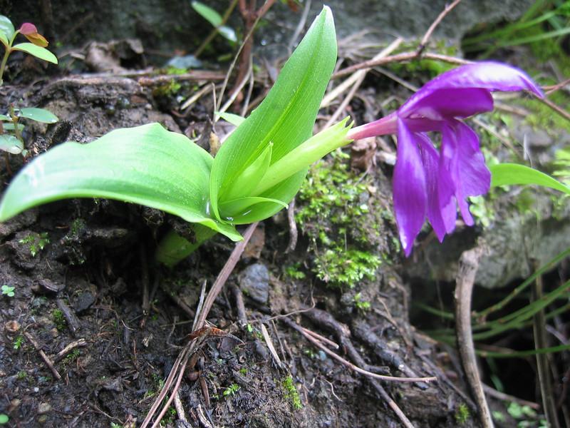 Roscoea tibeticum