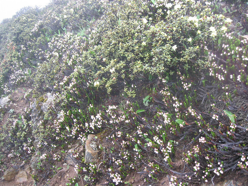 Cassiope pectinata (Bai Ma Shan 4600m. Dechen,Yunnan)