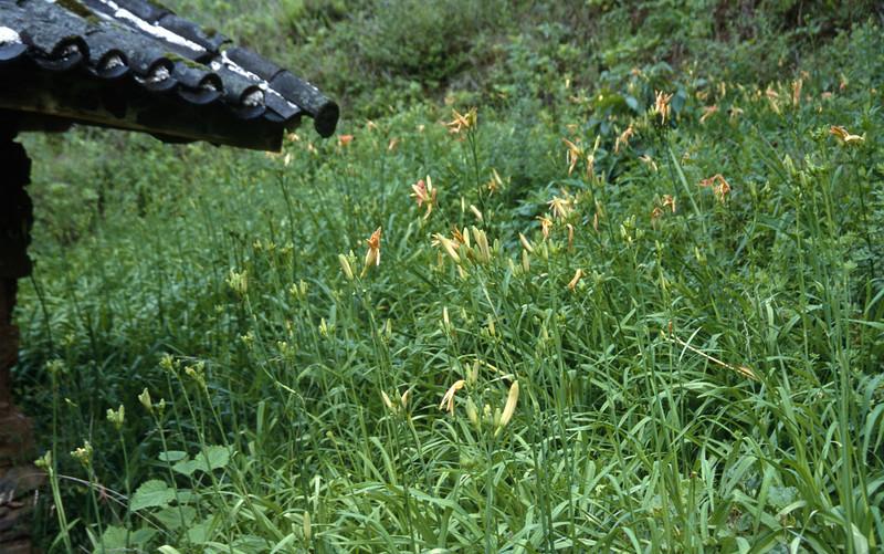 Lilium davidii