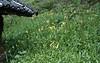 Lilium bakerianum ssp. delavayanum (Yufeng Monastery, near Lijang 2350m.)