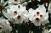 Rhododendron roxieanum (Zhongdian, near Tianchi lake)