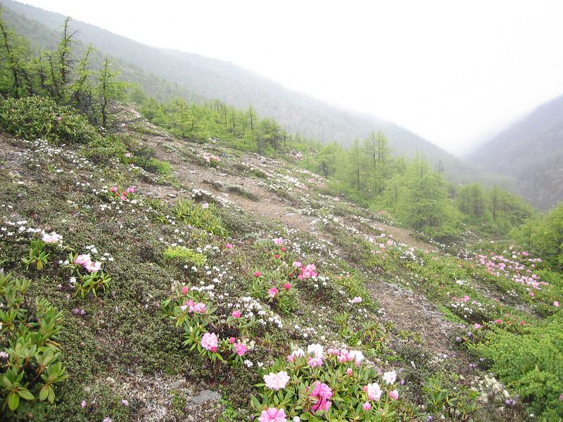 Rhododendron aganniphum (Bai Ma Shan 4600m. Dechen,Yunnan)