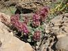 Salvia cf hydrangea