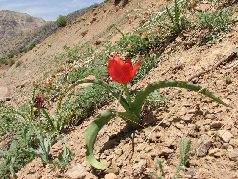 habitat of Tulipa hoogiana