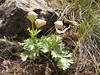 Anemone biflora