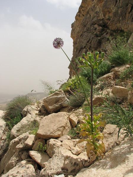 habitat with Allium stipitatum and Fritillaria imperialis in seed