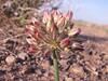Allium bungei