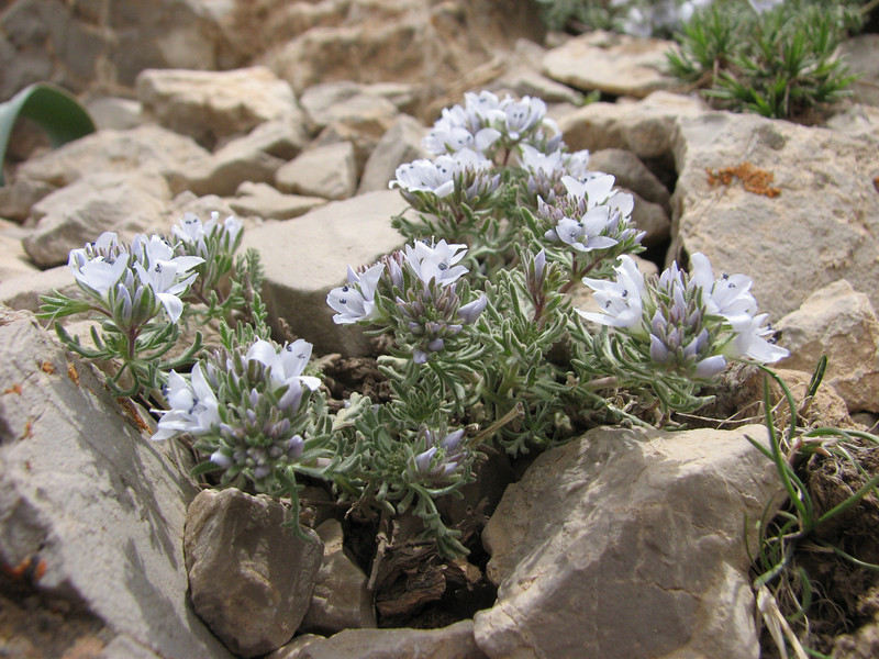 Veronica cf. hispidula