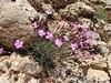 Dianthus orientalis