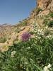 Salvia spec. and Allium stipitatum