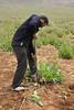Local people collecting bulbs of  Leopoldia comosa (syn. Muscari comosum)