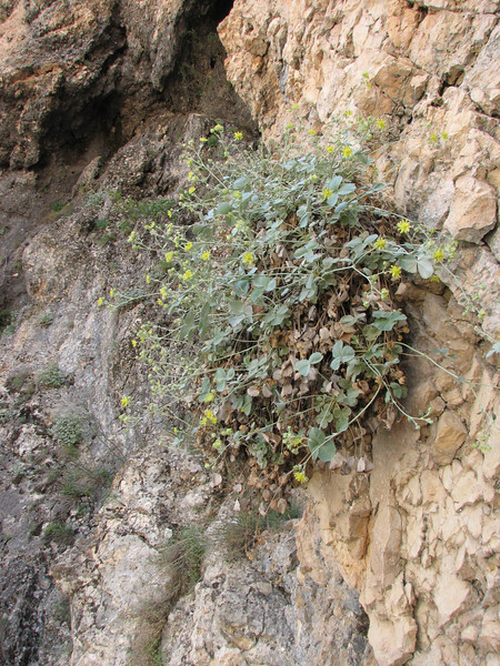 habitat of Potentilla nuda