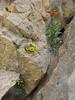 Dionysia haussknechtii and Fritillaria imperialis