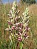 Orchis coriophora