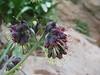 Solenanthus spec  (stamineus?)
