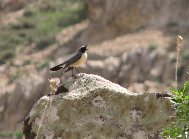 (NL: Tapuit), habitat 40 km NW of Khorram abad, Lorestan prov.