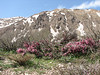 another habitat of Cerasus prostrata