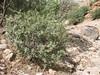 habitat of Daphne stapfii