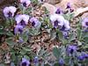 Viola pachyrrhiza