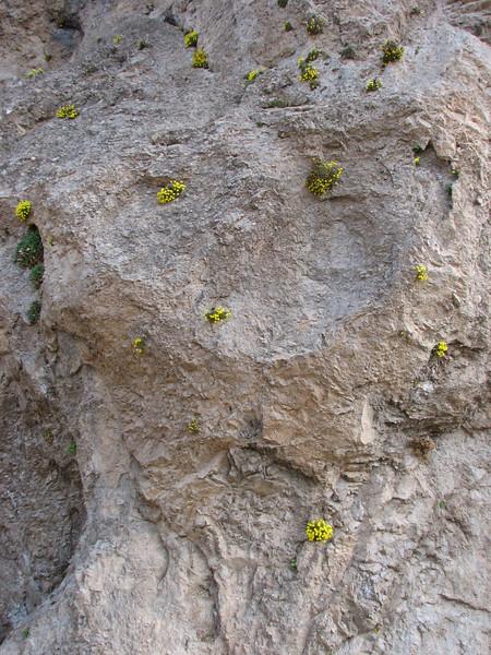 Dionysia crista-galli and Dionysia lurorum