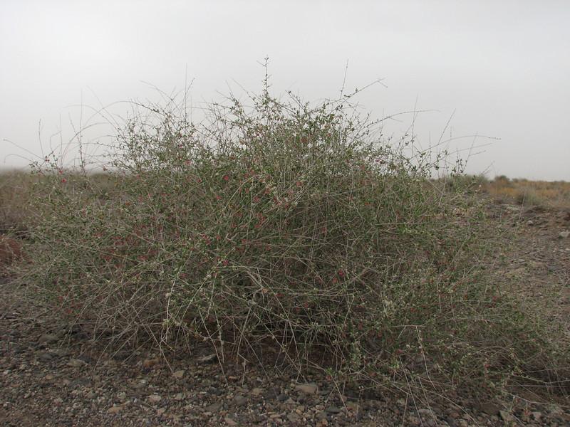 habitat Pteropyrum olivieri