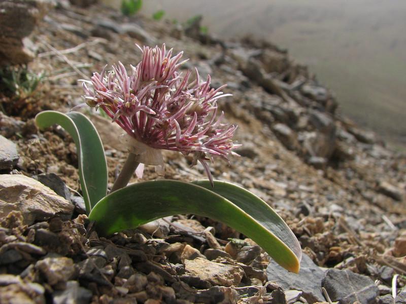 Allium ubipetrensis