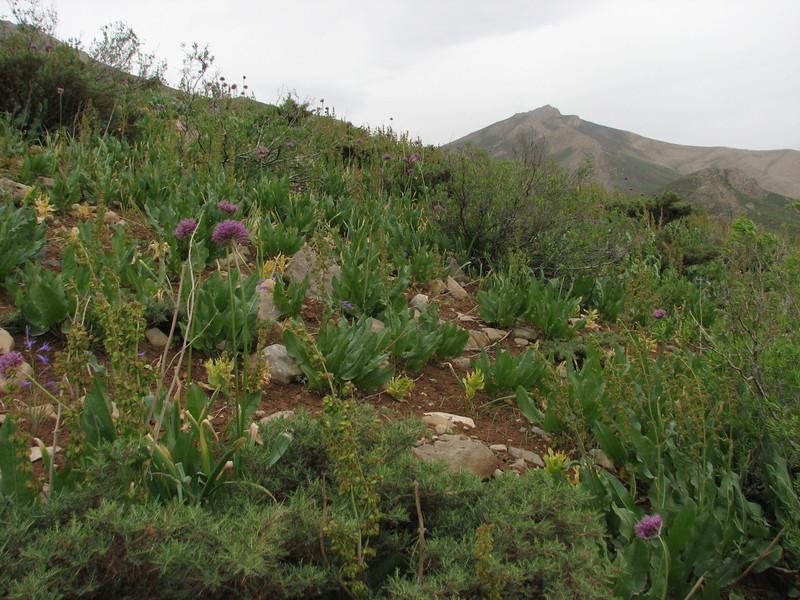 Allium stipitatum
