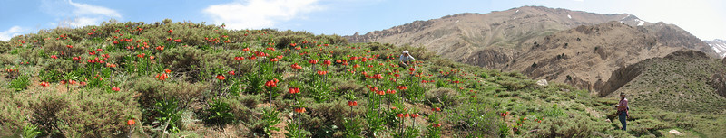 Fritillaria imperialis paradise with Harrie and Kees Jan
