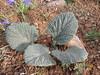 Jurinella moschus ssp. moschus