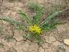 Astragalus ovinus Khorram abad - Aligudarz - Daran, Lorestan prov.