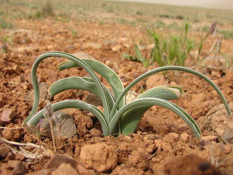 Iris spec. in fruit