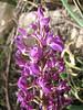 Orchis pinetorum