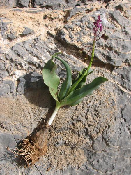 bulb of Bellevalia longistyla