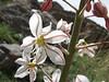 Eremurus persicus
