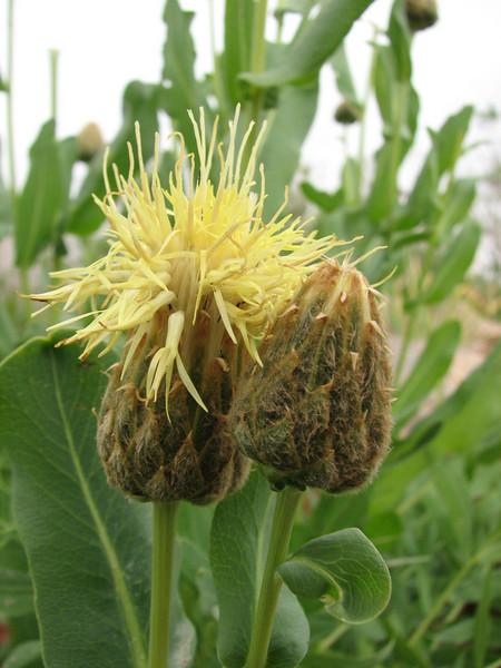 Centaurea spec.