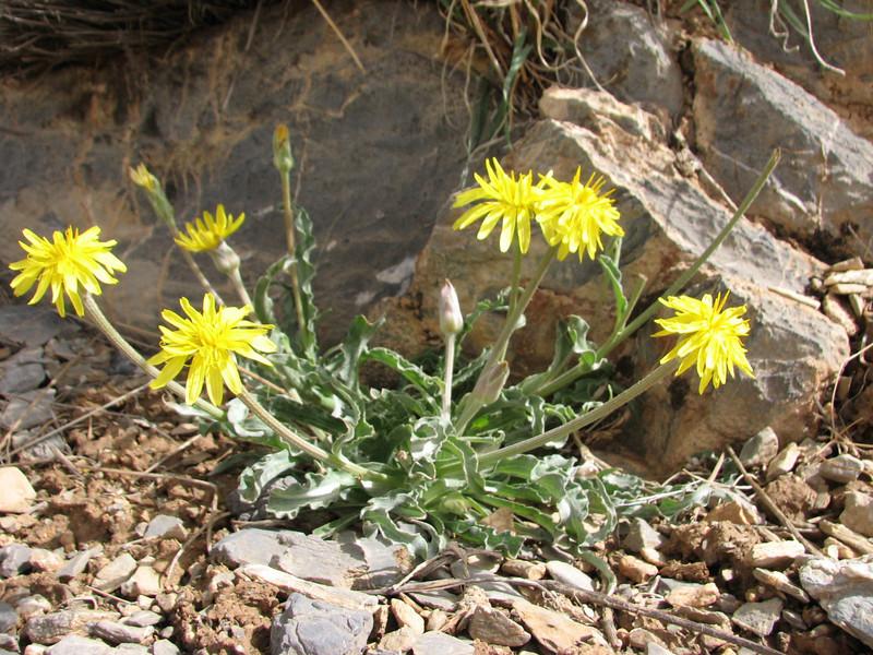 Scorzonera cf. pseudolanata habitat 15 km E of Daran, Esfahan prov.