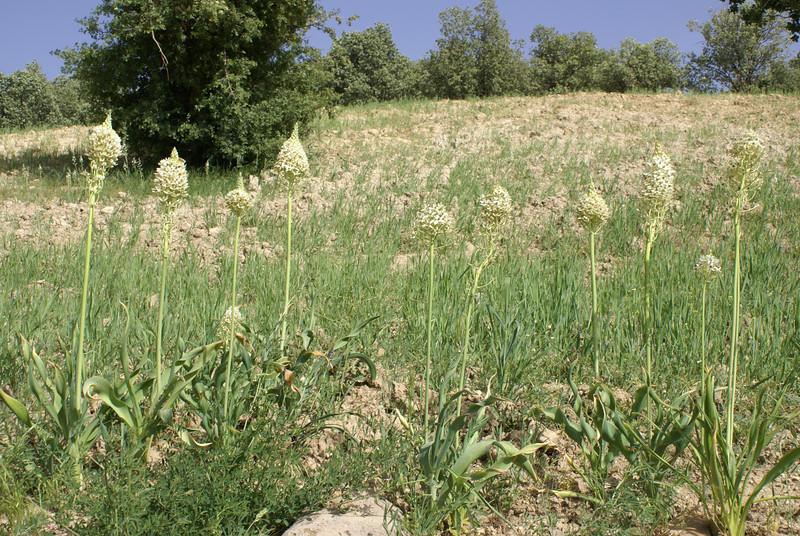 habitat of Ornithogalum persicum
