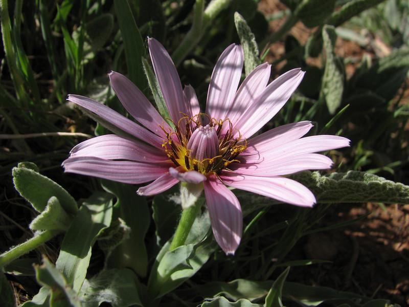 Tragopogon spec