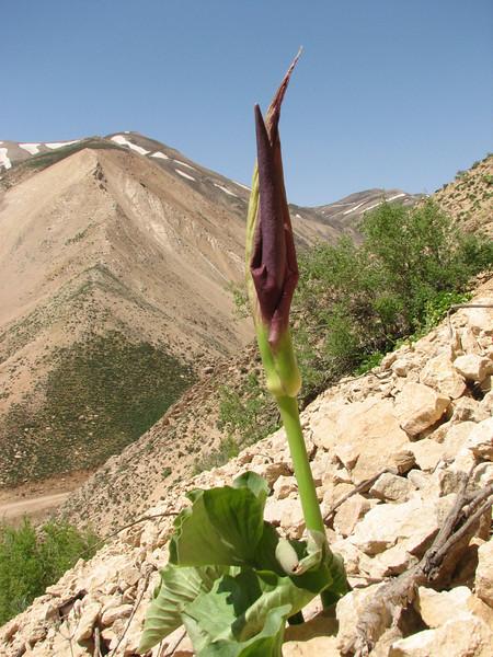 Arum detruncatum ssp. detruncatum