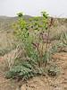 habitat of Astragalus spec. and Euphorbia spec. Khorram abad - Aligudarz - Daran, Lorestan prov.