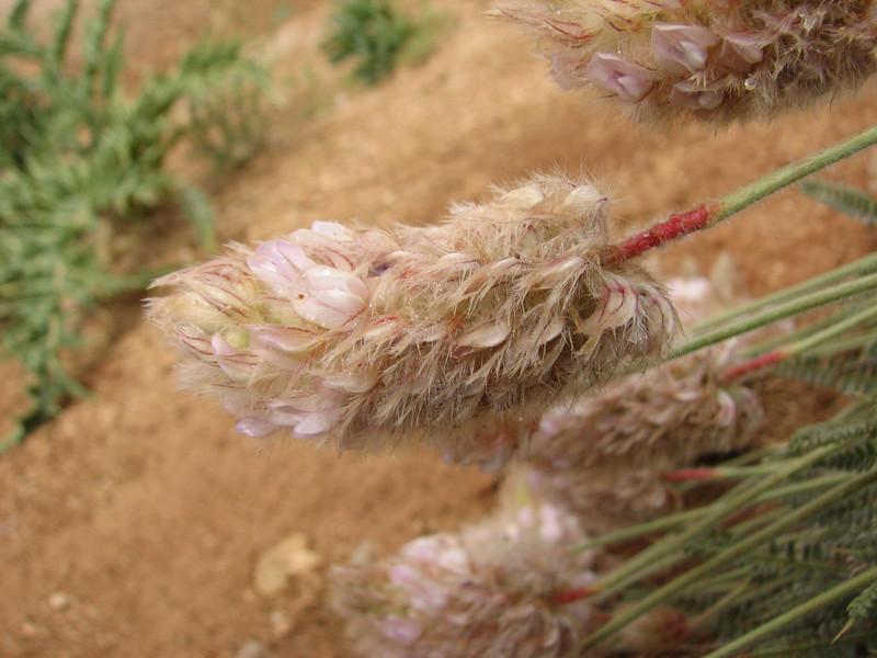 Astragalus ledinghamii