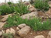 Centaurea spec
