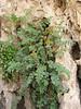 Corydalis rupestris
